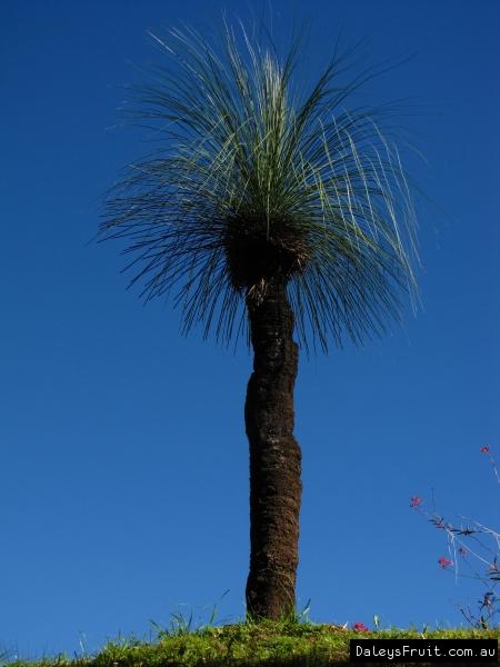 xanthorrhoea glauca grass tree native to australia for sale