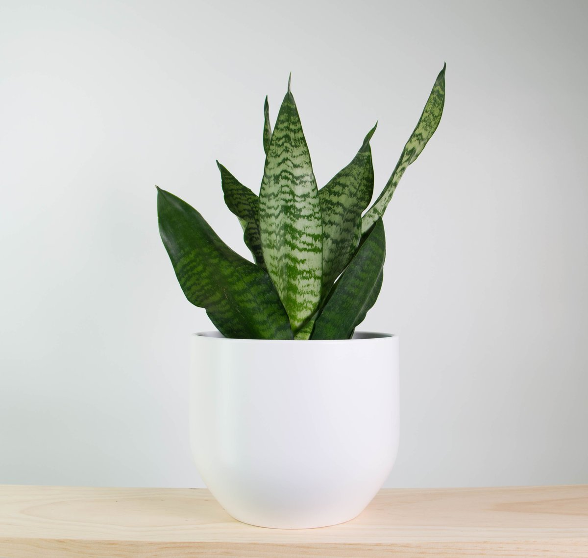 Indoor Pot Plants Snake Plant In Pure White Pot Plantandpot Nz