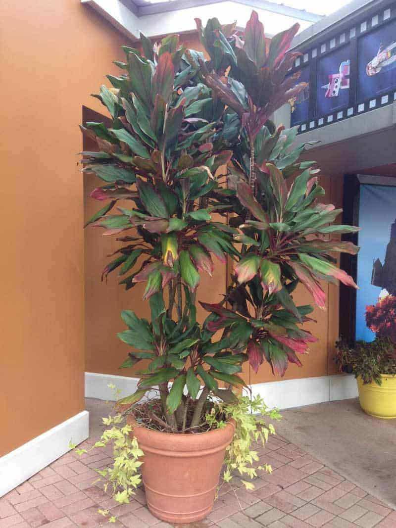 Fullsize Of Cordyline Electric Pink
