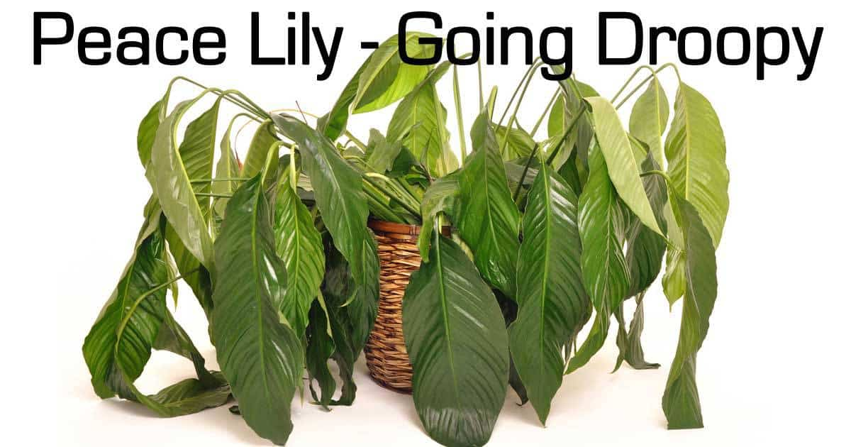 Peace Lily Care Questions And Answers On Spathiphyllum