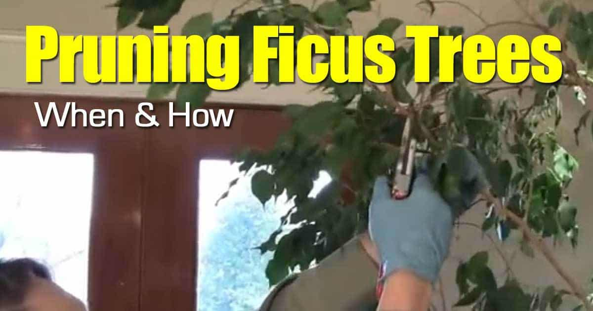 Pruning Ficus Trees: When And How -