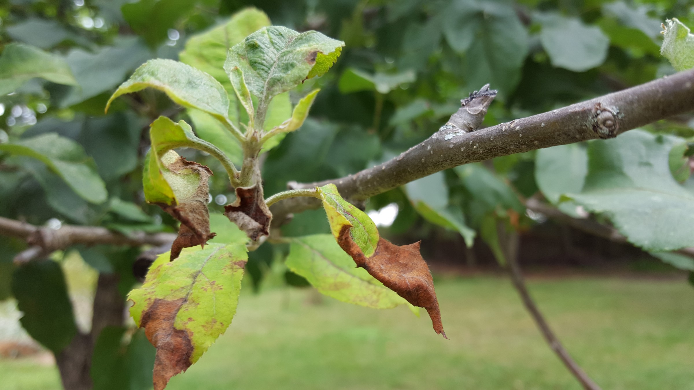 Natural Apple Tree Leaves Brown Curled Apple Leaves Plantdoc Apple Tree Leaves Drying Up Apple Tree Leaves Diseases houzz-02 Apple Tree Leaves