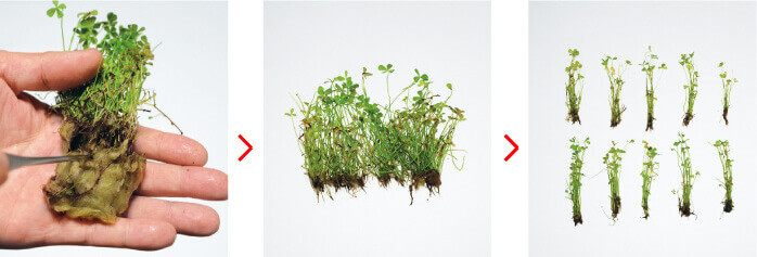 separatingcarpetplants