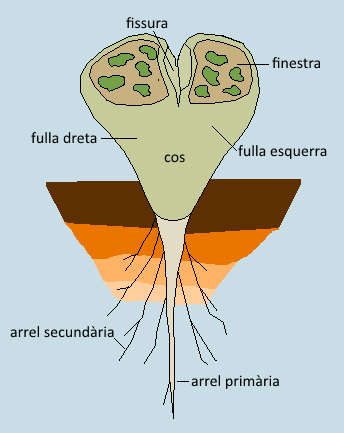 morfologia lithops