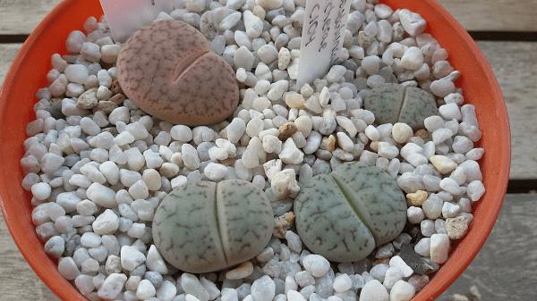 lithops-pseudotruncatella-6