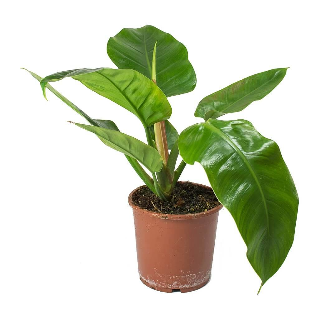 Floor Plants Indoor Philodendron Imperial Green Indoor House Plants