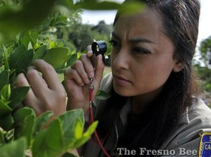 Cora Barrera, a CDFA inspector, uses a magnifier as she searches for Asian citrus psyllids in a citrus grove in Fresno.  ERIC PAUL ZAMORA — THE FRESNO BEE