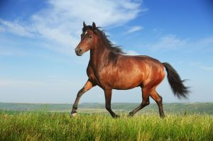 beautiful-running-horse