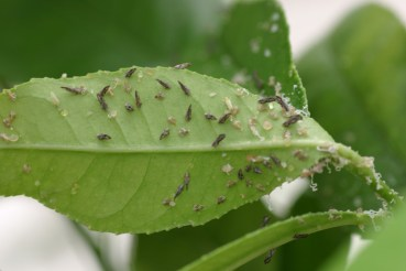 Adult and immature Asian Citrus Psyllid latch onto citrus tree leaves. The insects can infect leaves and stems with Huanglongbing, a citrus disease that kills trees and the fruit on them. (Courtesy of the United States Department of Agriculture.)