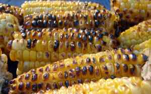 Mexico Bans GMO Corn!