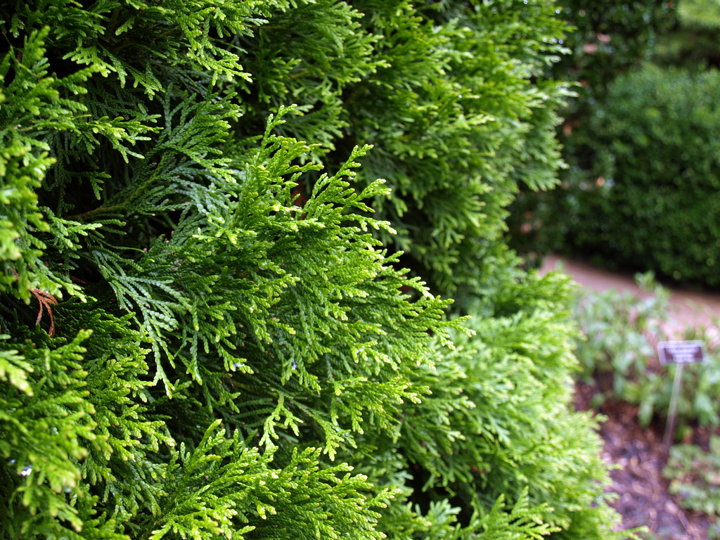 Thuja Occidentalis Thuja Occidentalis Smaragd These Are The Plants I Know