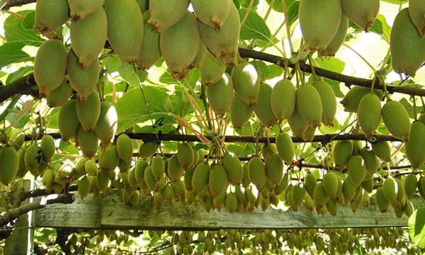 Kiwi Vine Male Female