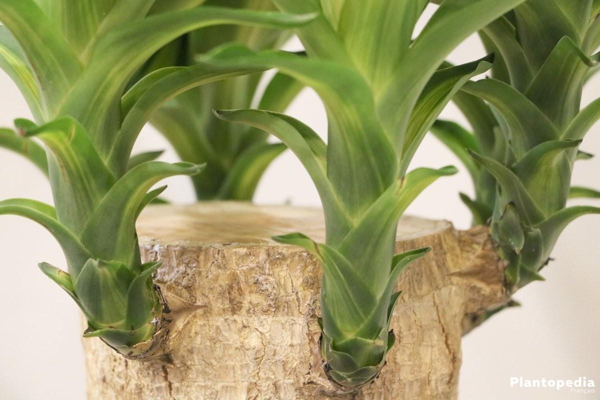 Plante interieur sans eau awesome plante haworthia dans un vase en forme dananas with plante for Plantes interieur sans entretien