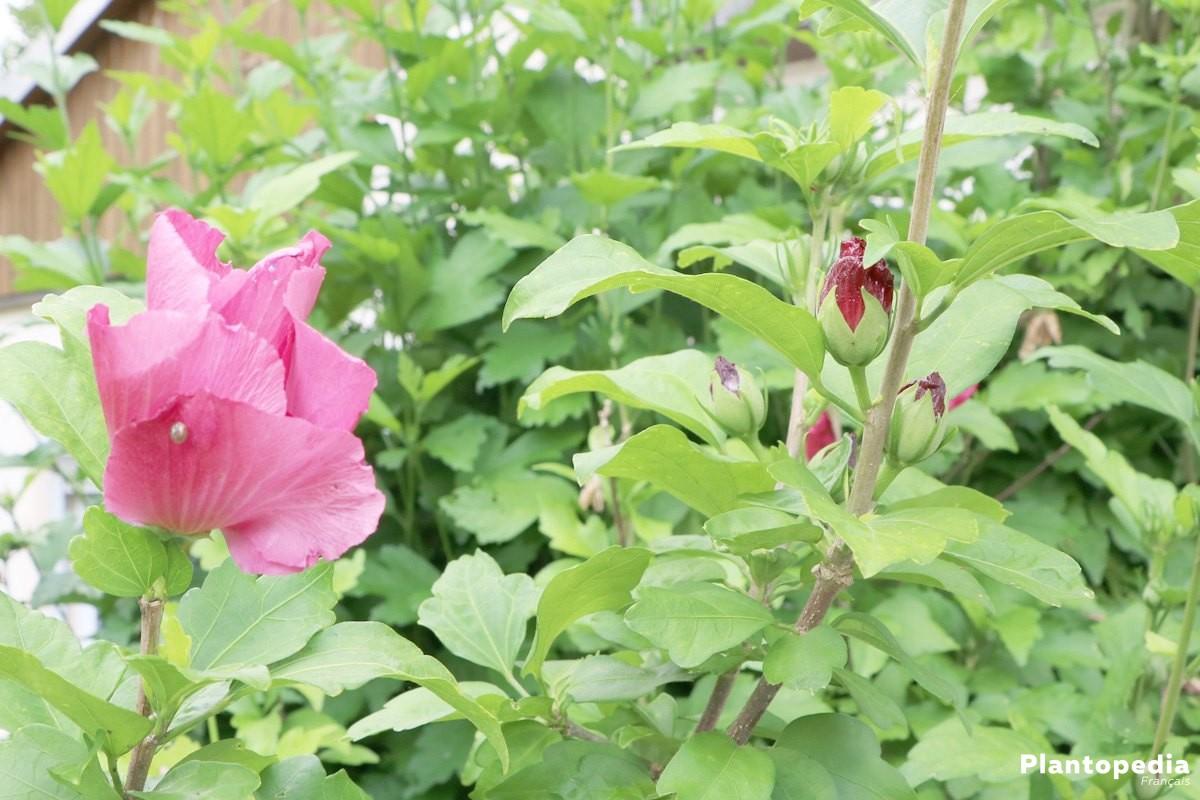 Taille Hibiscus En Pot | Tailler L Hibiscus De Jardin Tailler Les ...
