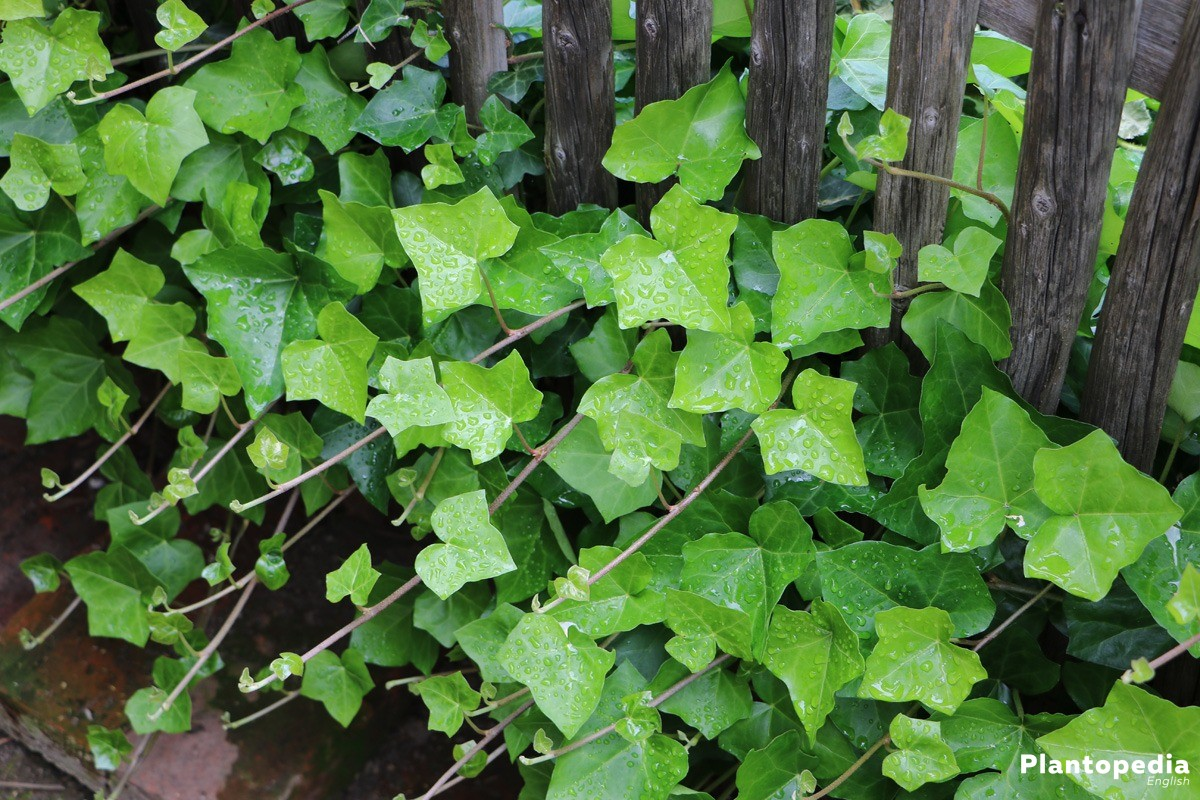 Hedera Planten Ivy Plant Hedera Helix How To Care And Grow Indoors