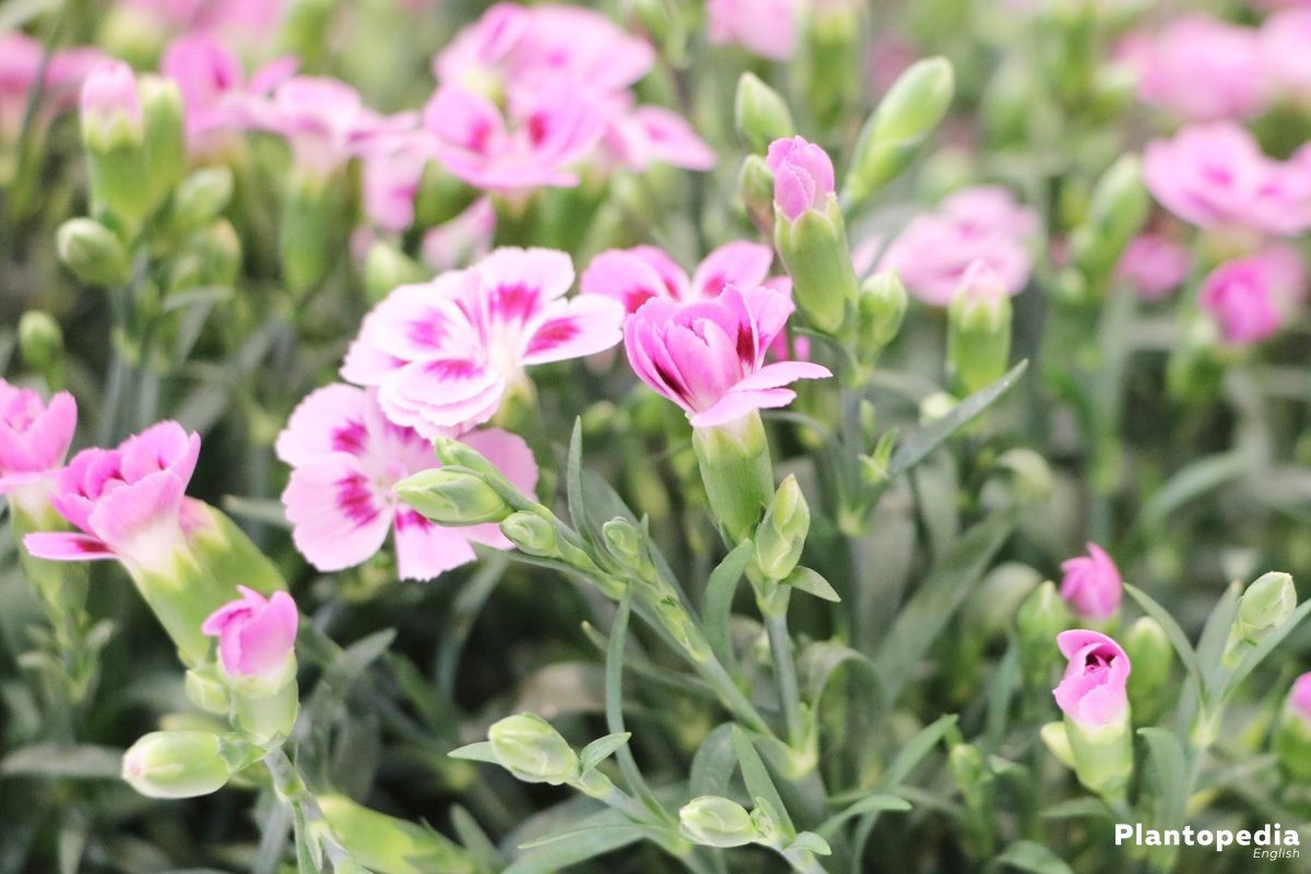 Lobelia Winterhard Dianthus Flowers How To Grow And Care Dianthus Plants Plantopedia
