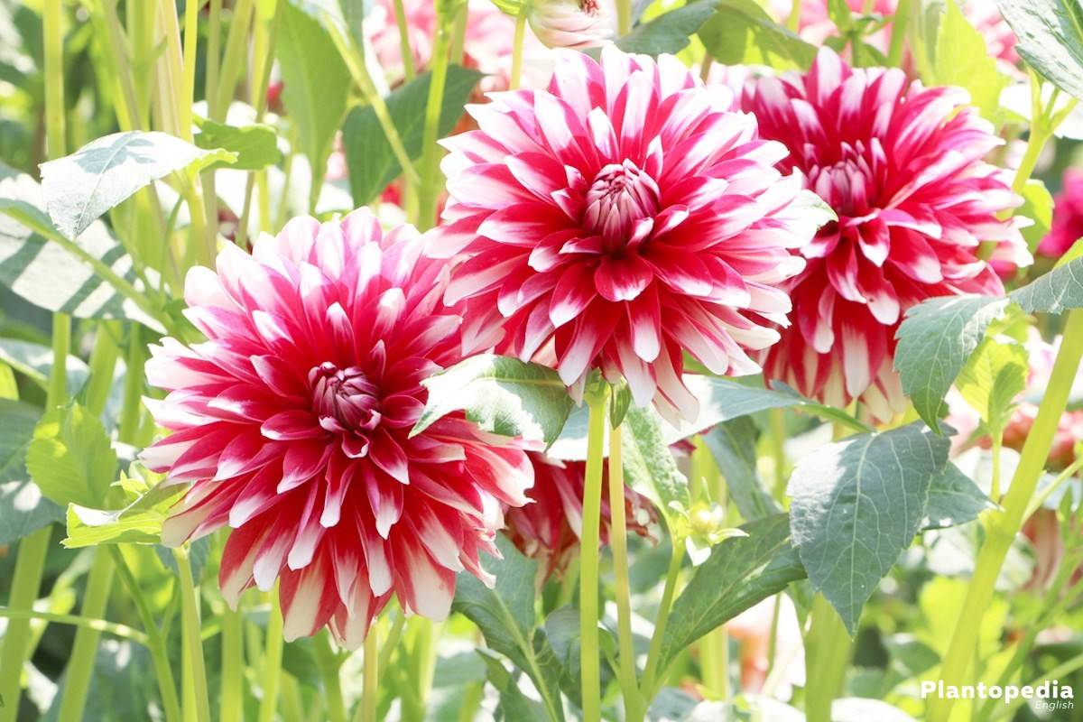 Lobelia Winterhard Dahlia Flower Information How To Plant Grow And Care For Dalias