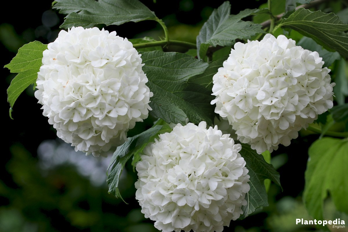 Lobelia Winterhard Guelder Rose Tree Viburnum Opulus Facts How To Care And Prune