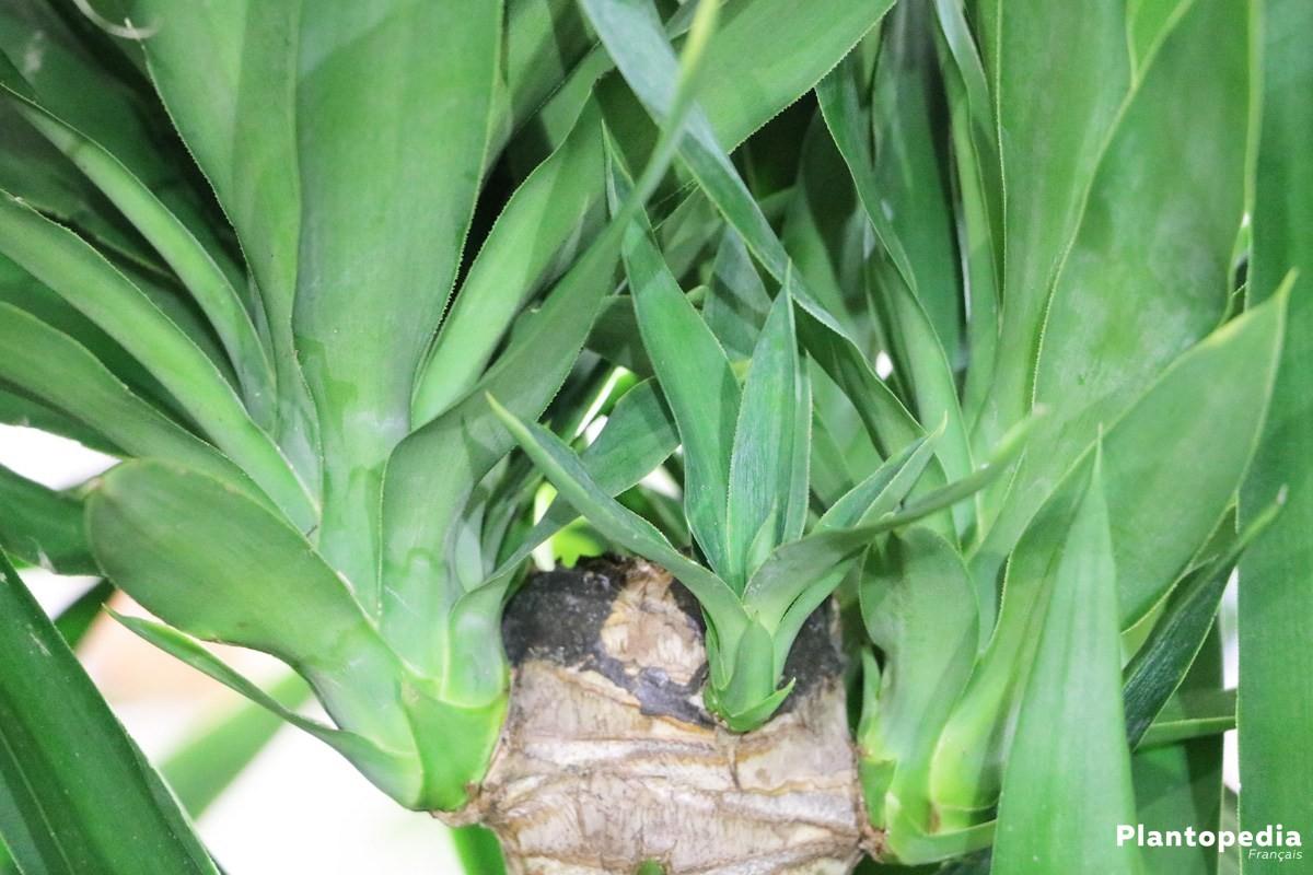 Plante D Interieur Yucca Le Yucca A Chaque Mois Sa Plante Janvier