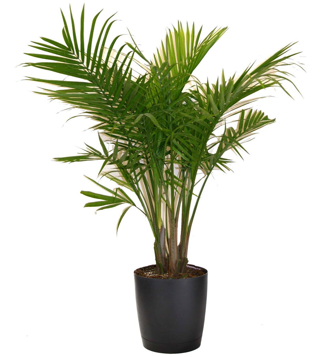Green Houseplants Majesty Palm Vancouver Plant Rentals