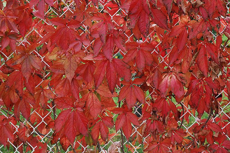 Climbing Vine Plants Englemann Ivy (Parthenocissus quinquefolia 'var. englemannii') in Inver Grove Heights, Minnesota ...