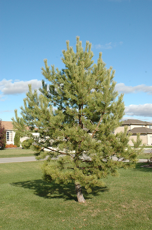 Outdoor Plant Cart French Blue Scotch Pine (pinus Sylvestris 'french Blue