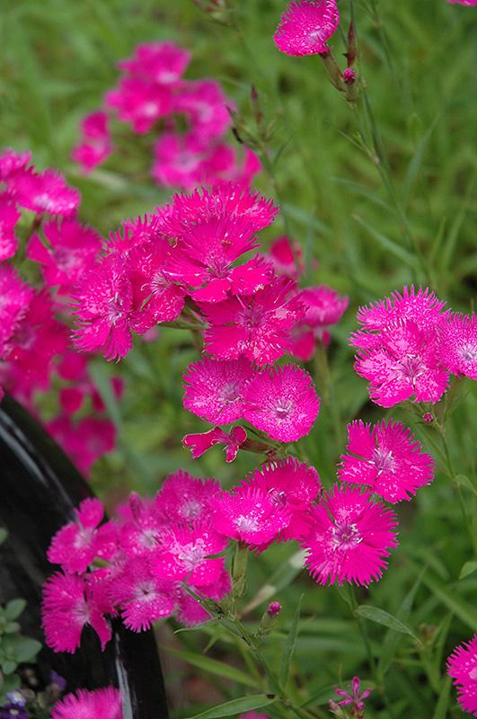 Bouquet Purple Pinks (Dianthus \u0027Bouquet Purple\u0027) in Long Island