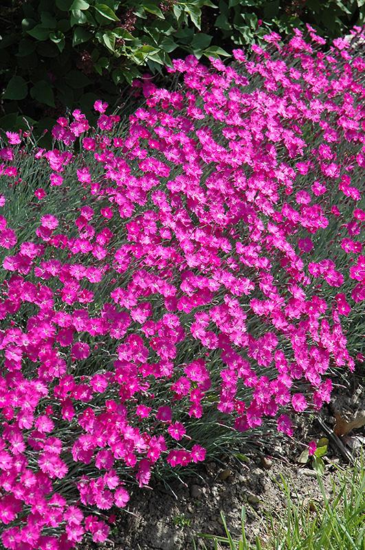 Firewitch Cheddar Pinks (Dianthus gratianopolitanus \u0027Firewitch\u0027) in