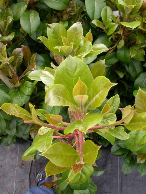 Full Shade Hydrangea Evergreen Climbing Hydrangea - Plants4home
