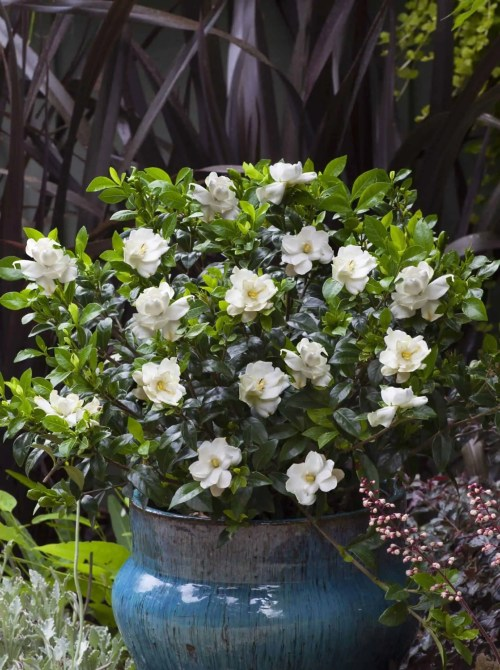 Medium Of August Beauty Gardenia