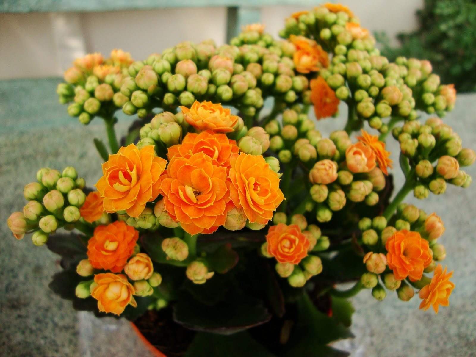 Kalanchoe Pflege Kalanchoe Orange Plant Buy Plants Online India
