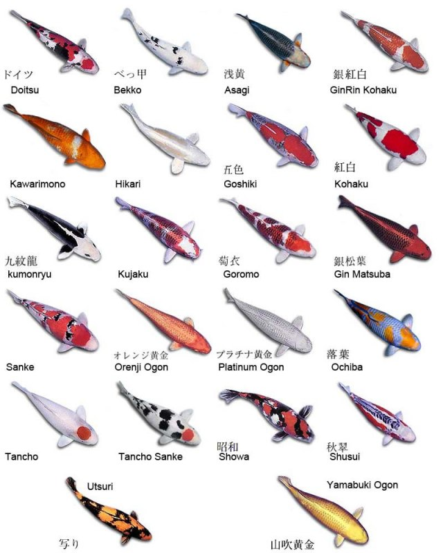 Koy fish names Aquarium Fish Types Names