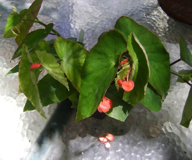 Large Of Dragon Wing Begonia