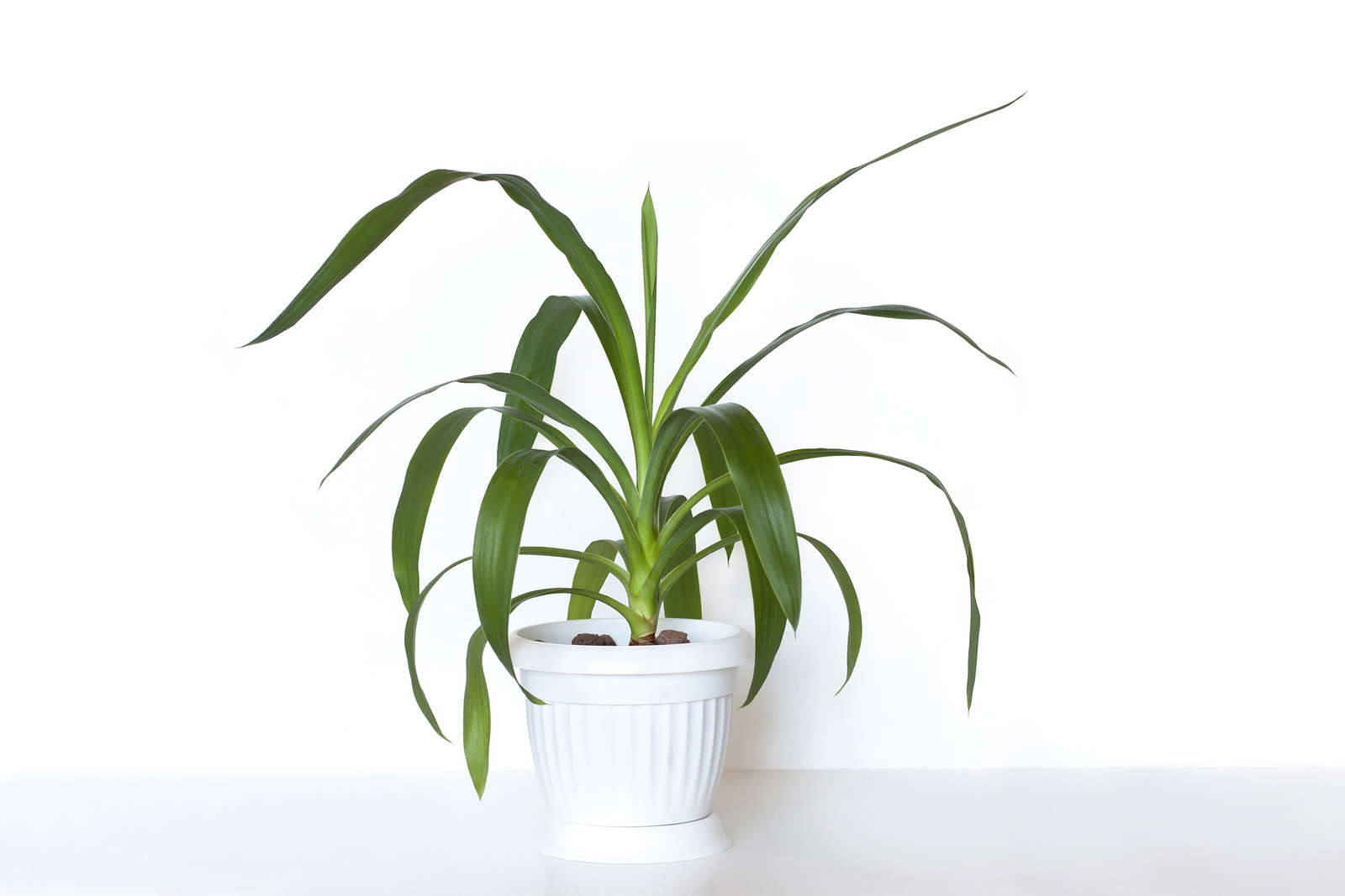 Yucca Palme Pflege Yucca Gloriosa Kerzen Palmlilie Yucca