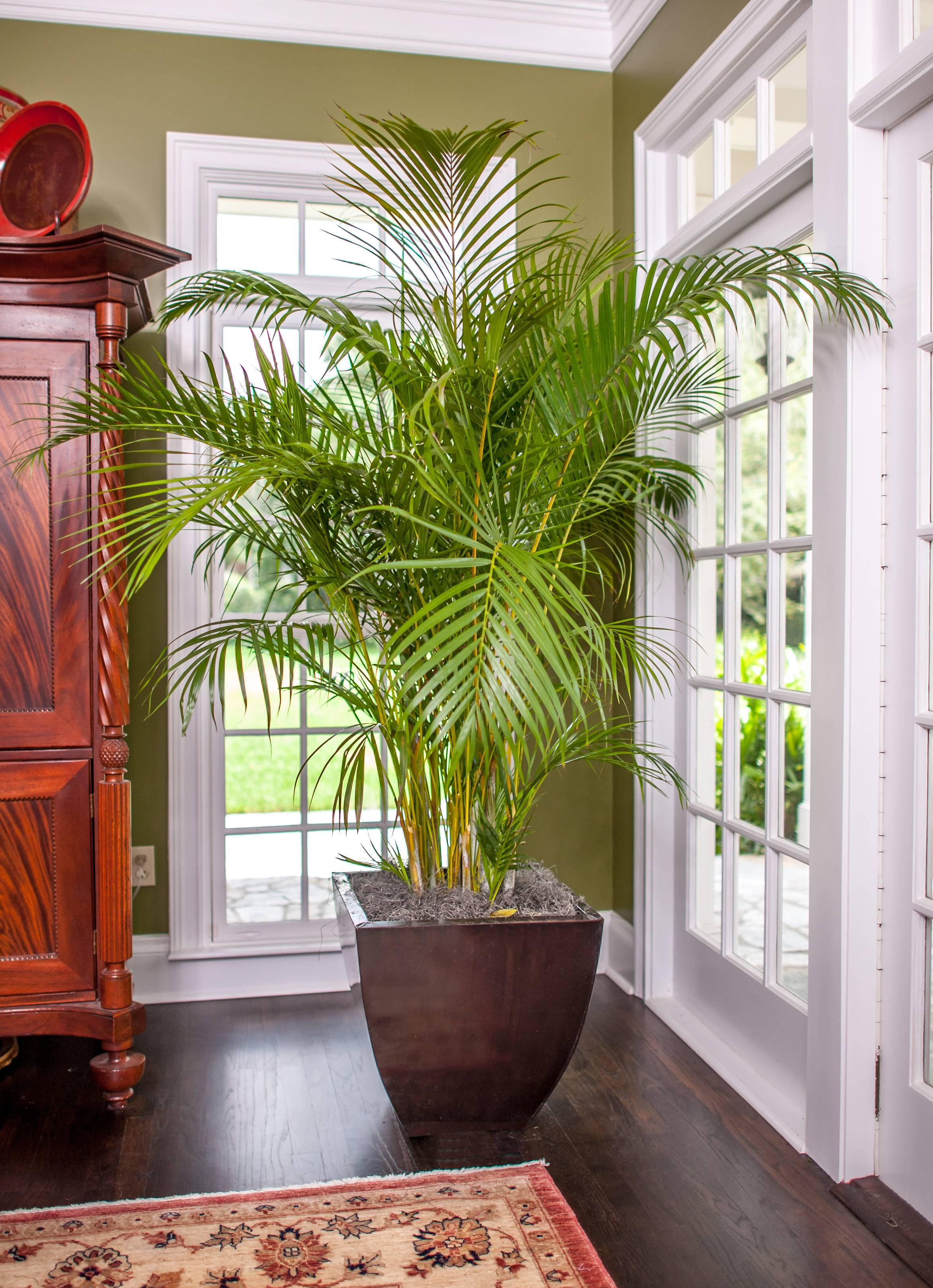 Palm Areca Areca Palm Full Sized Quality Plant Shipped To Your Doorplantz