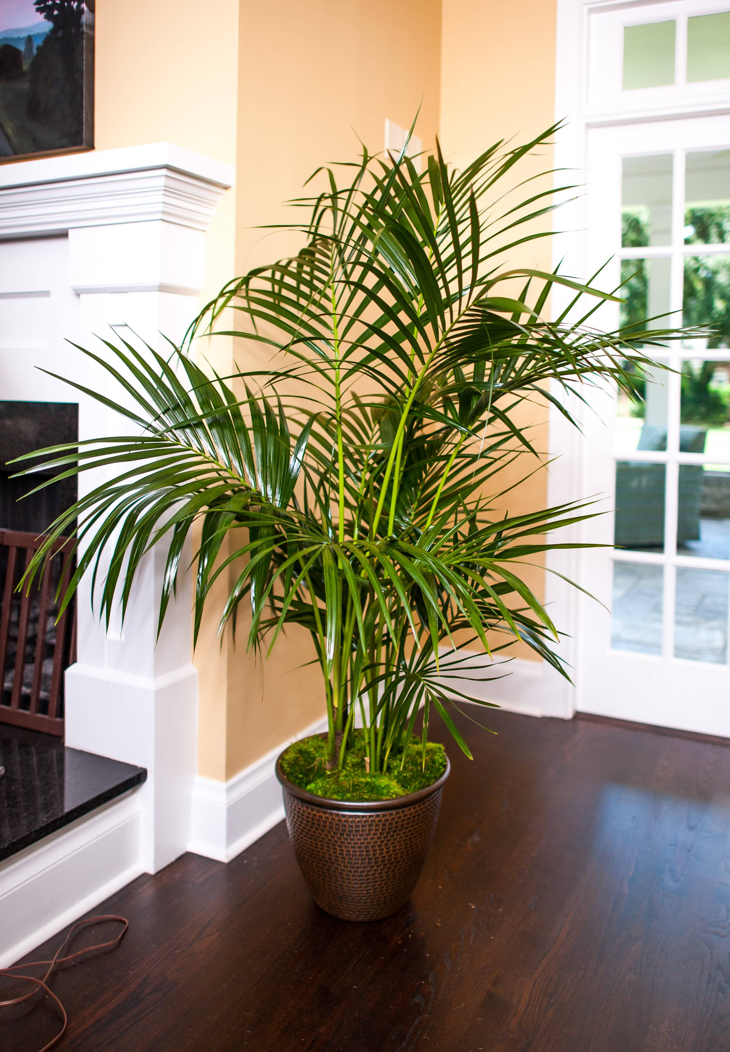 Big Plants For Living Room Kentia Palm Large Tropical Plant Shipped To Your Door