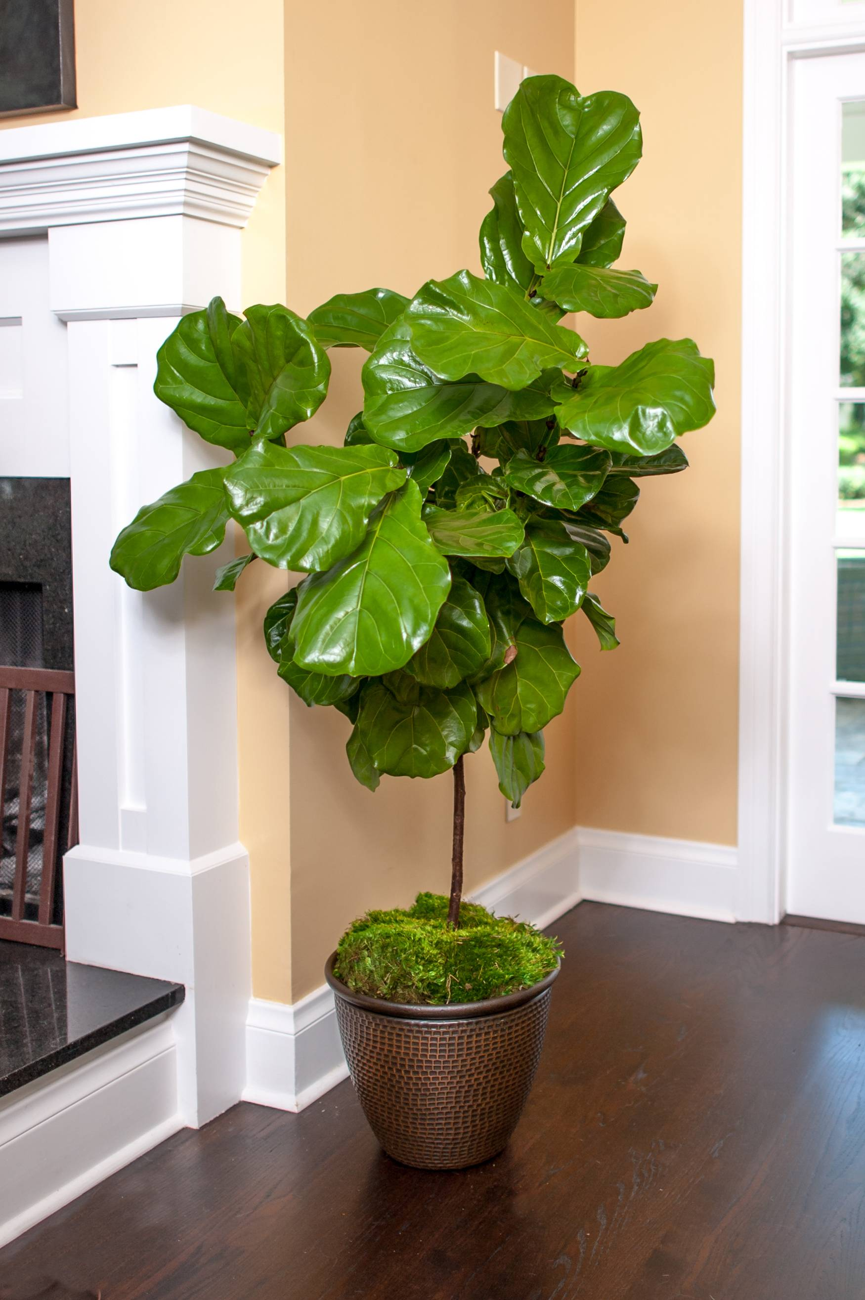 Fiddle Leaf Fig Tree Full Size Fiddle Leaf Fig Tree Ficus Lyrata Plants For