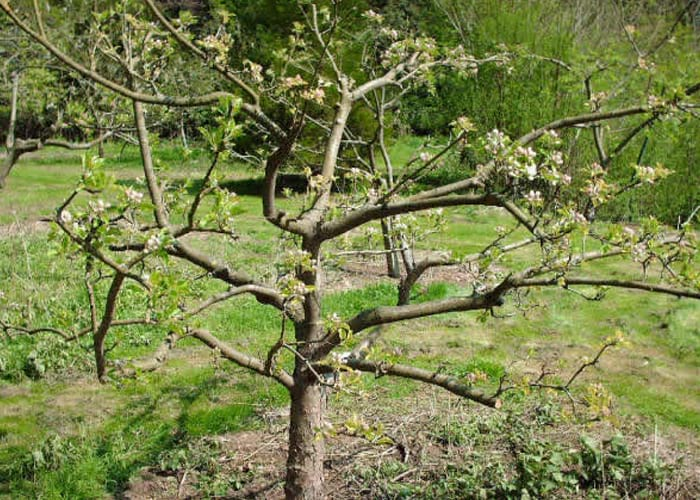 fruit-tree-pruning