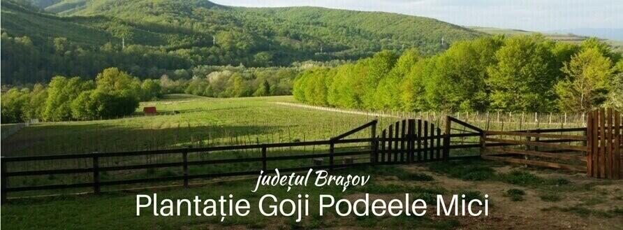 Fructe Goji crescute local: Plantație Goji Podeele Mici, judetul Brasov [Video]