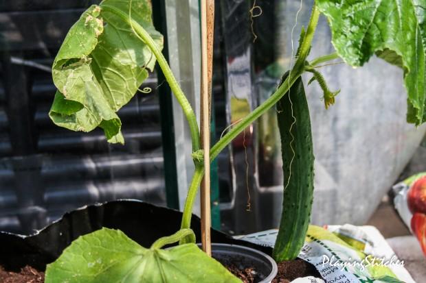 [:en]First cucumber