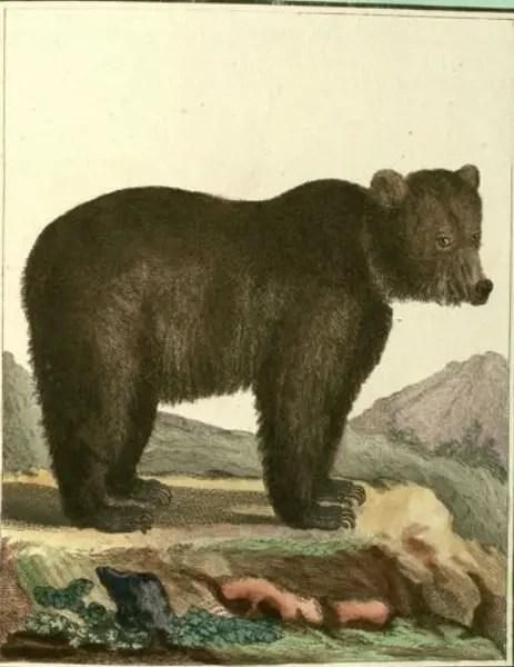 Dessin-gravure d'un ours brun (XVIIIème siècle)