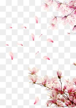 Cherry Blossom Wallpaper Hd Cherry Blossom Png Hd Transparent Cherry Blossom Hd Png