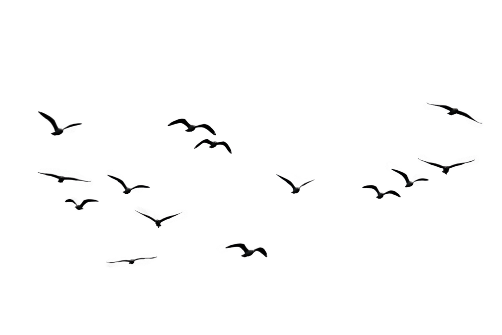 Flock Of Birds Png Transparent Flock Of Birdspng Images