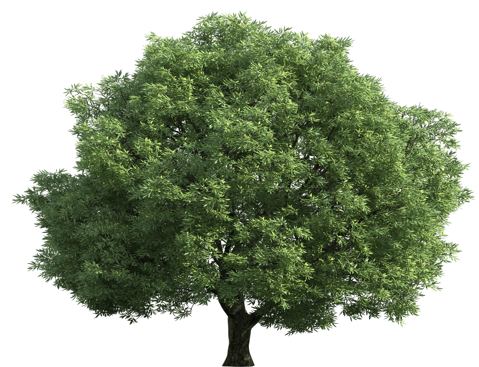 3d Falling Leaves Animated Wallpaper Narra Tree Png Transparent Narra Tree Png Images Pluspng