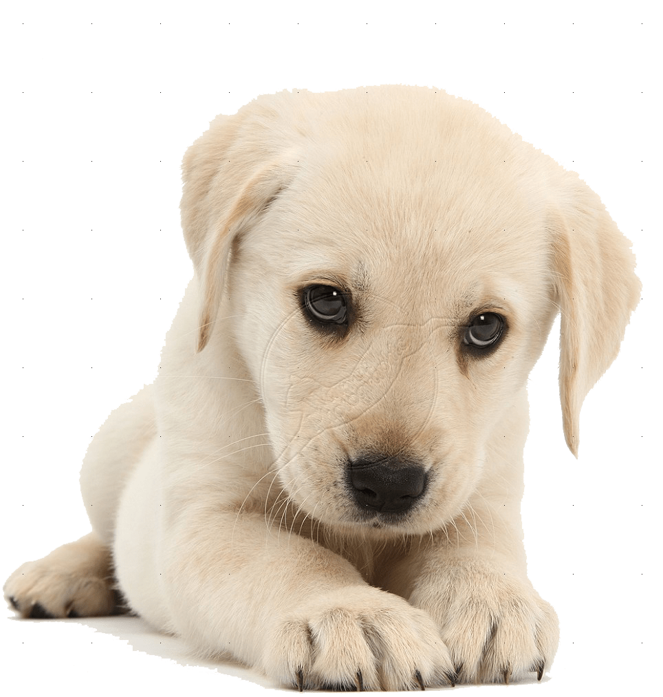 Cute Cartoon Face Wallpapers Puppy Png Hd Transparent Puppy Hd Png Images Pluspng