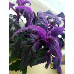 Small Crop Of Purple Velvet Plant
