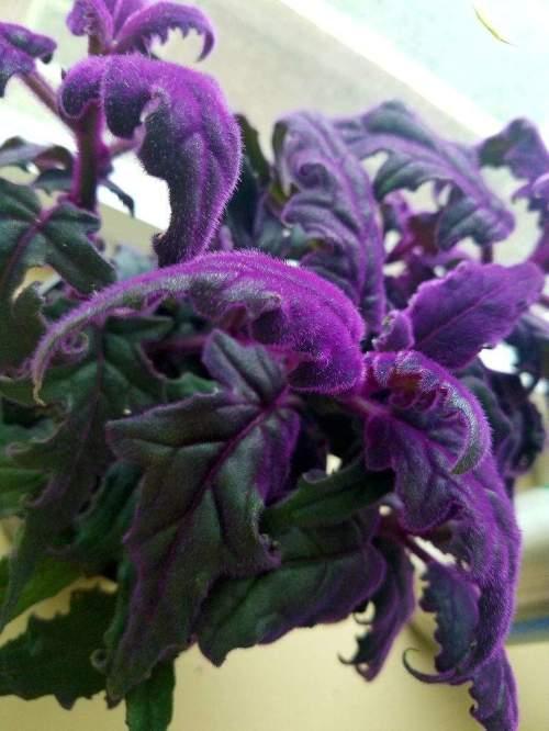 Medium Of Purple Velvet Plant