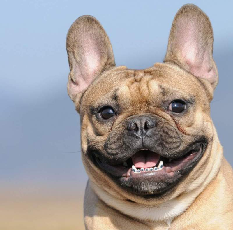 Large Of Dogs With Braces