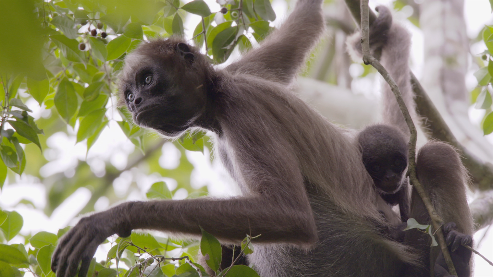 Cute Baby Feet Wallpaper Swing Through The Trees With Amazing Spider Monkeys
