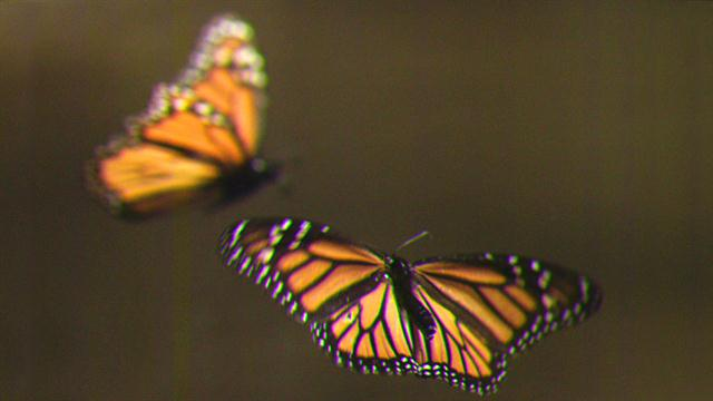 Animated Butterfly Wallpaper How To Create Your Own Monarch Butterfly Rest Stop